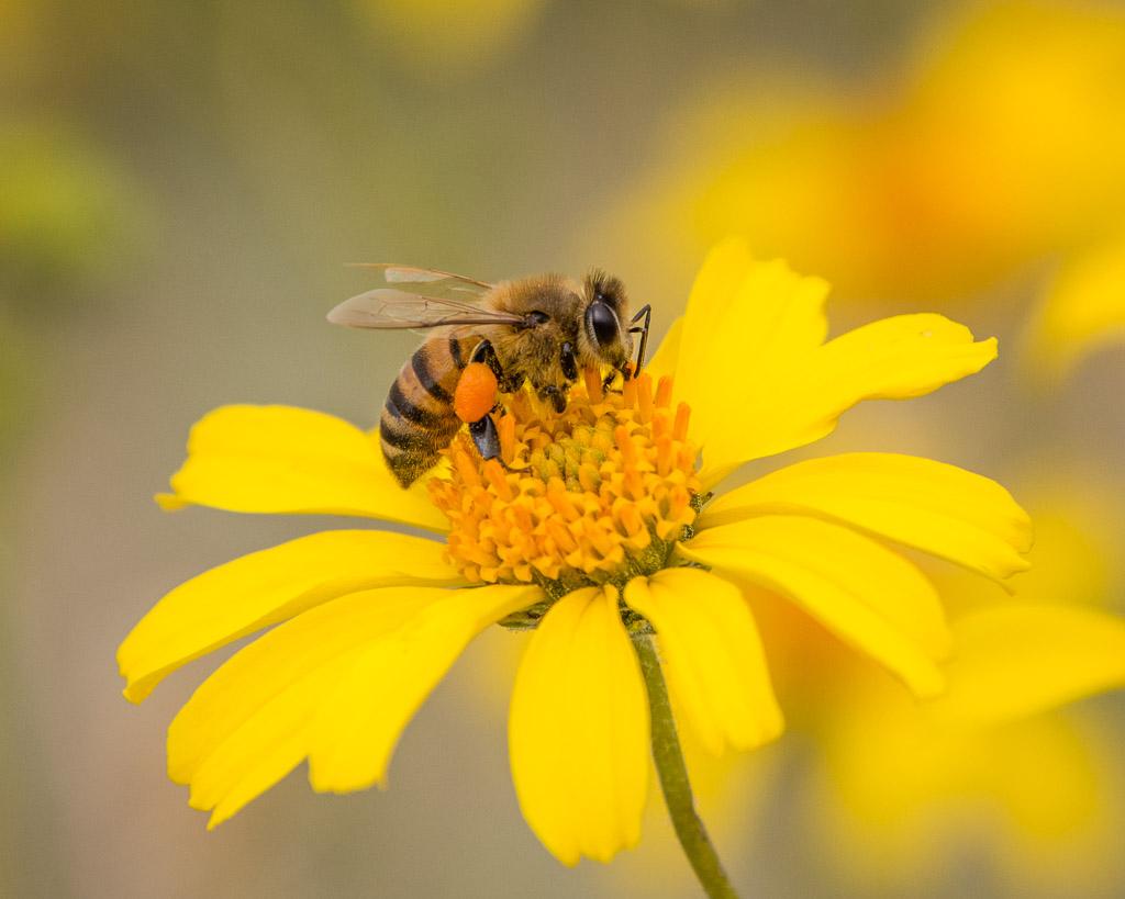 Honeybee collecting nectar & Pollen