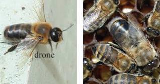 Dronebees