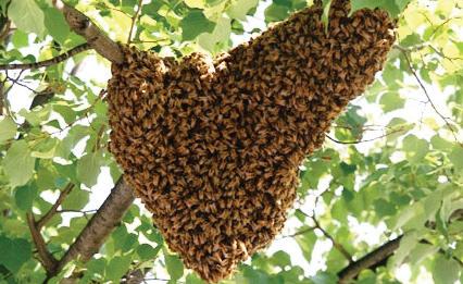 Swarm resting on a branch