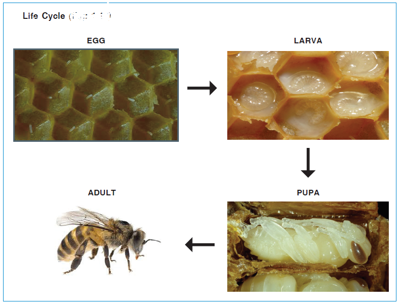 Life cycle of Honey bees