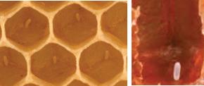 Honeybee-Castes-and-their-work- Information